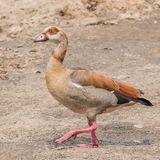 Egyptian Goose (7)