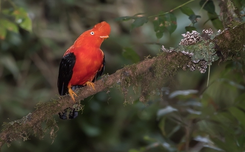 Andean Cock-of-the-Rock in its lush natural habitat