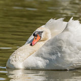 Mute Swan (7)