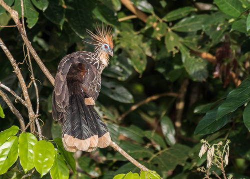 Hoatzin - a taxonomic oddity within its own order Opisthocomiformes