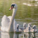 Mute Swan (8)