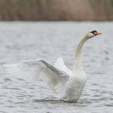 Mute Swan (11)
