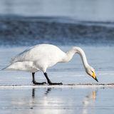 Whooper Swan (2)