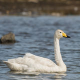 Whooper Swan (1)