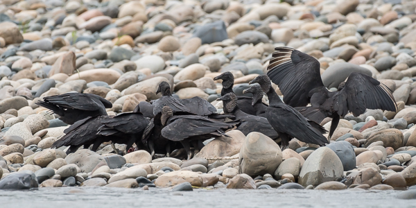 Black Vultures on the kill - often called a 'wake' when feeding