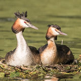 Great Crested Grebe (5)