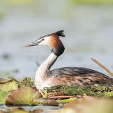 Great Crested Grebe (6)