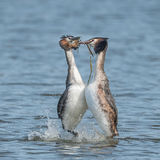 Great Crested Grebe (7)
