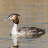 Great Crested Grebe (8)