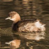 Little Grebe (4)