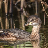 Little Grebe (6)
