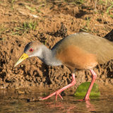 Grey-necked Wood Rail (2)