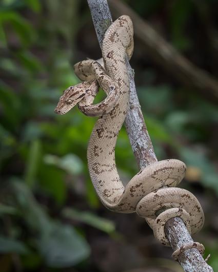 Amazon Tree Boa - family Boidae