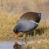 Common Moorhen (1)
