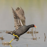 Common Moorhen (3)