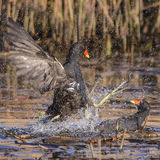 Common Moorhen (4)