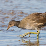 Common Moorhen (5)