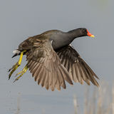 Common Moorhen (9)