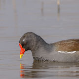 Common Moorhen (10)