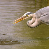 Grey Heron (4)