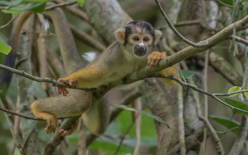 an inquisitive Black-capped Squirrel Monkey