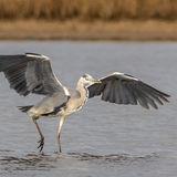 Grey Heron (6)