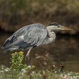Grey Heron (7)