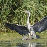 Grey Heron (8)