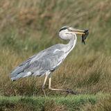 Grey Heron (9)