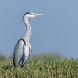 Grey Heron (10)