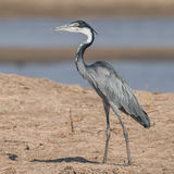 Black-headed Heron (1)
