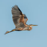 Purple Heron (3)