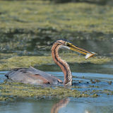 Purple Heron (4)