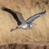 Black-headed Heron (3)