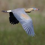 Whistling Heron (2)