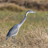 Black-headed Heron (4)