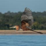 Goliath Heron (5)