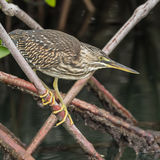 Striated Heron (1)