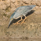 Striated Heron (2)
