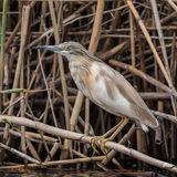 Squacco Heron (1)