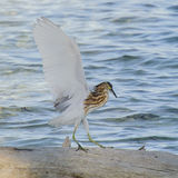 Malagasy Pond-Heron (2)