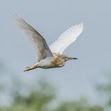 Squacco Heron (2)