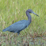 Little Blue Heron (2)