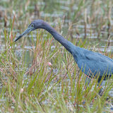Little Blue Heron (3)
