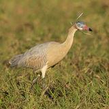 Whistling Heron (1)