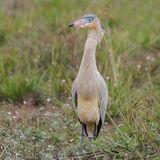 Whistling Heron (3)