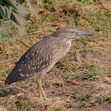 Black-crowned Night-Heron (2)