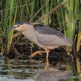 Black-crowned Night-Heron (1)