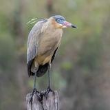 Whistling Heron (4)