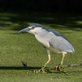 Black-crowned Night-Heron (3)